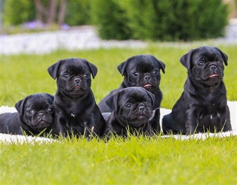 i want a pug puppy 25 best ideas about black pug puppies on pug puppies black pug and baby