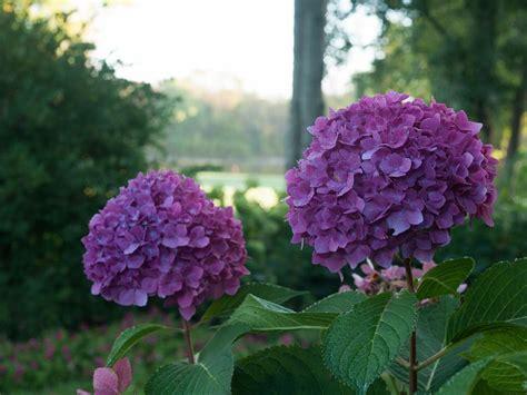 hydrangea varieties you ll love hgtv