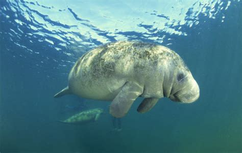 Manatee County Property Records West Indian Manatee