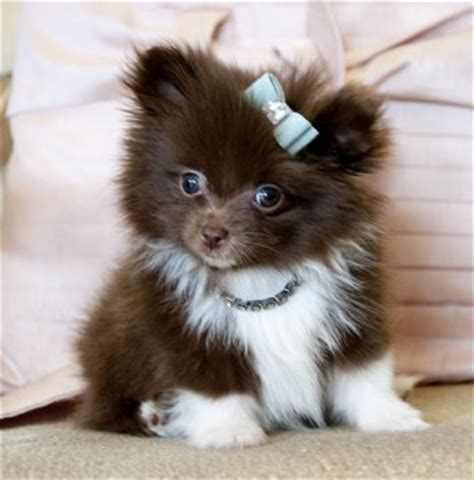 chocolate teacup pomeranian tiny teacup pomeranian prince amazing chocolate coat he is a find sold
