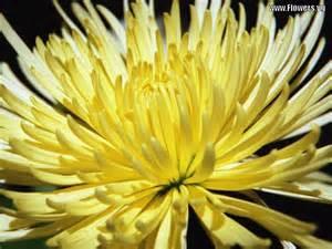 Chrysanthemum by Chrysanthemum Flower