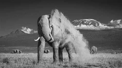 wallpaper elephant black white elephants black and white google search elephants