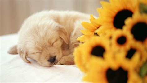 puppy wallpaper sleeping puppy wallpaper
