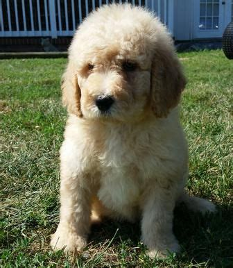 doodle puppies for sale in virginia labradoodle puppy for sale goldendoodle puppy for sale