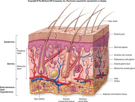 diagram of skin anatomy phys integumentary system