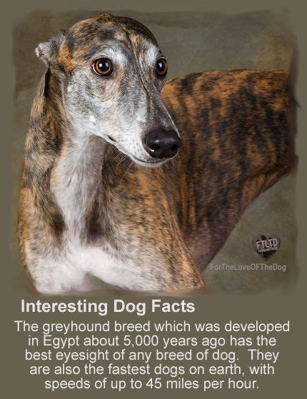 interesting facts about dogs 25 best ideas about greyhound breed on greyhound whippet rescue