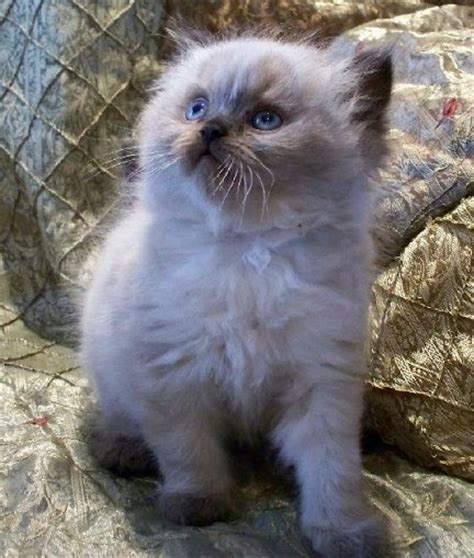 cat breeders cat breeders cat breeders himalayan cat