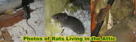 how to get rid of mice in basement how to get rid of rats solve a rat problem