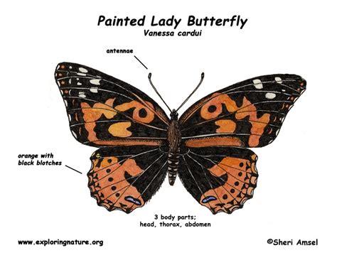 diagram of a butterfly caterpillar anatomy diagram caterpillar elsavadorla