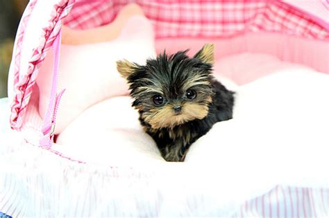 Amazing Light precious teacup yorkie puppy amazing tiny teacup yorkie
