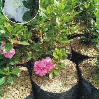 Bibit Bunga Azalea tanaman azalea putih gumbo bibitbunga