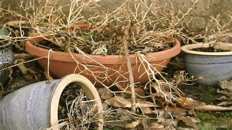 how to bring a dead plant back to life feng shui tips 7 plants that bring bad luck to your home