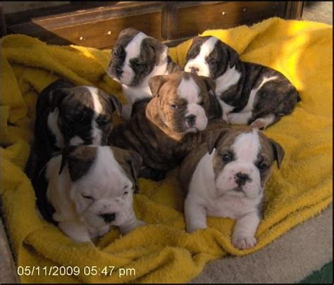 puppies for sale in west virginia puppies for sale in clarksburg wv clarksburg breeder clarksburg west virginia