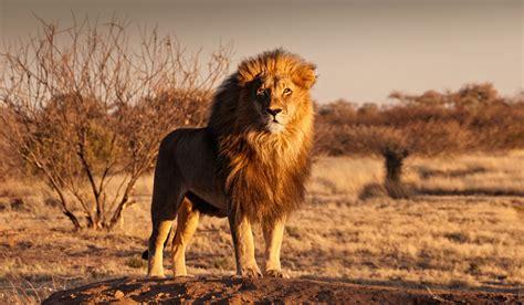 imagenes de leones viejos 161 leones el coraz 243 n y rey de 193 frica