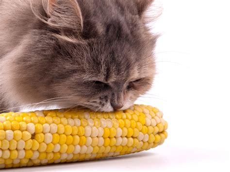 4 funny videos of animals eating corn the epoch times