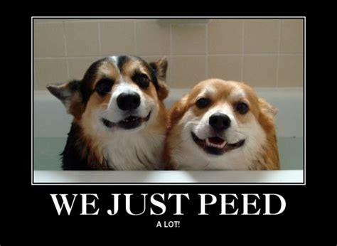 Corgi Meme - best corgi memes part 1 corgi dogs oakley and chubbs