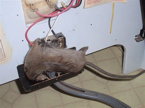 Gund Mice Zip On Wire rat photograph 027 when they chew wires they get