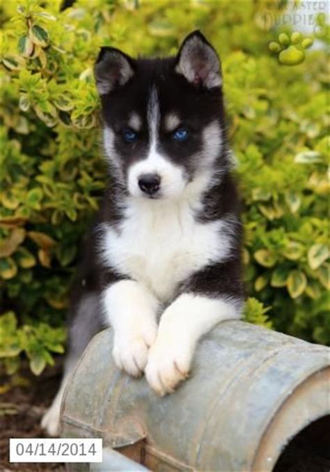 siberian husky puppies for sale in michigan best 25 puppies for sale ideas on baby huskies for sale huskies for sale