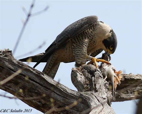 facts about peregrine falcons buffalo bill center of the west