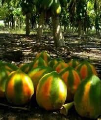Tanaman Jeruk Pepaya umur panen buah pepaya tanaman bunga hias