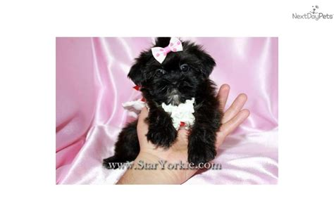 yorkie poo los angeles yorkiepoo yorkie poo puppy for sale near los angeles california 9f54fee8 6371