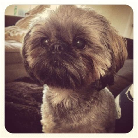 dogs that look like shih tzu my family owns a shih tzu and she somewhat looks like this my s name is