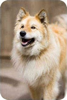 alaskan malamute golden retriever mix adopted portland or golden retriever alaskan malamute mix