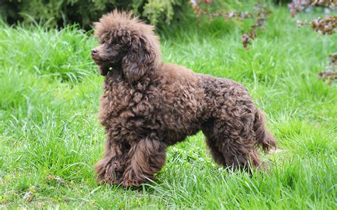 mini poodle info miniature poodle puppies breed information puppies for sale