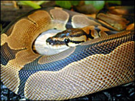 reduced pattern pastel ball python ralph davis reptiles collection pythons ball pythons