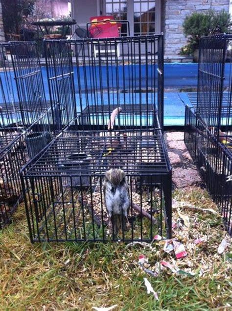 gabbia trappola per uccelli le gabbie trappola per uccelli corriere it