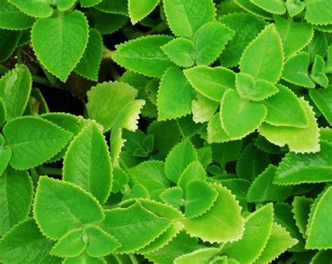 tanaman daun  bisa dijadikan obat