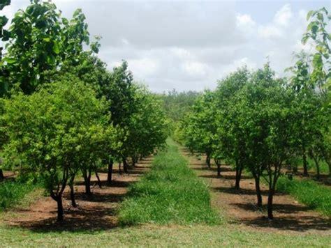 Bibit Cendana India jual bibit pohon cendana di tuban www stewartflowers net