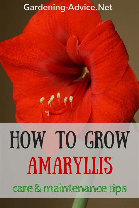 amaryllis care how to care for amaryllis bulbs