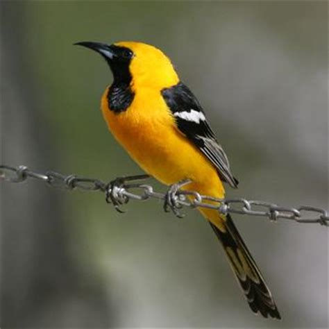 image gallery hooded oriole