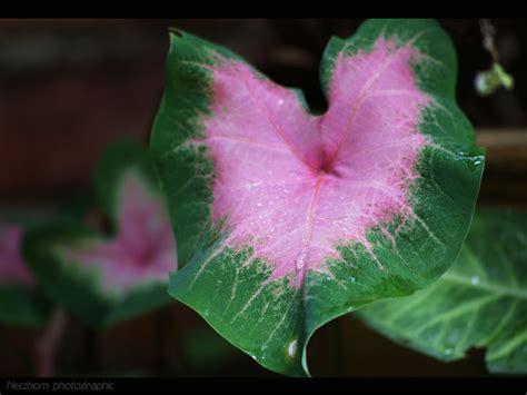 Tanaman Hias Keladi Hitam putra garden bali info dan jenis tanaman hias keladi