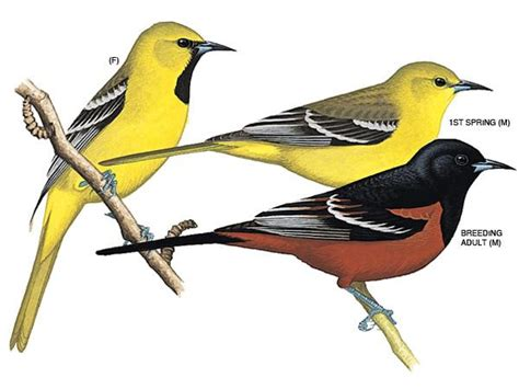 histories of american blackbirds orioles tanagers and allies classic reprint books song birds part deux at of missouri columbia