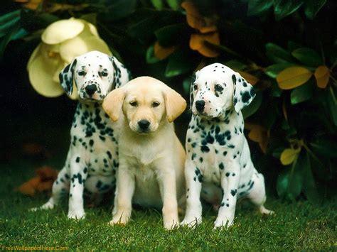 free dalmatian puppies free dalmatian puppies dalmatian puppy wallpaper from puppy wallpapers i