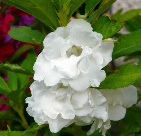 Jual Bibit Bunga Pacar Air bibit benih pacar air putih jual tanaman hias