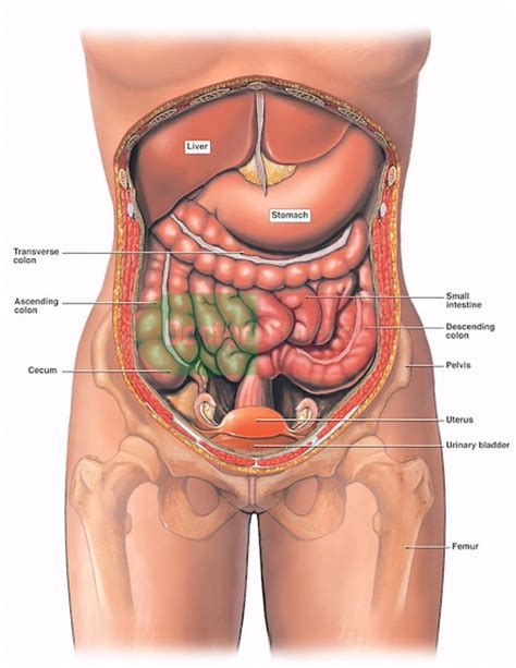 diagram of area diagram of the stomach area anatomy organ