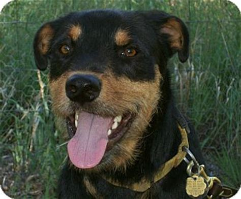 rottweiler rescue new mexico george adopted questa nm rottweiler airedale terrier mix