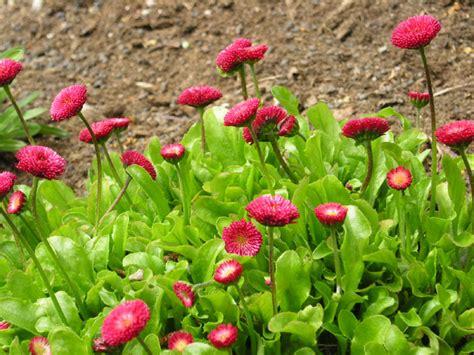 Geranien Giftig by Ententeich Thema Anzeigen Welche Balkonpflanzen Sind