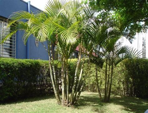 15 Benih Bunga Palmeira Areca Bambu 15 mudas de areca bambu no tubete arvore ex 243 tica r 30 00 em mercado livre