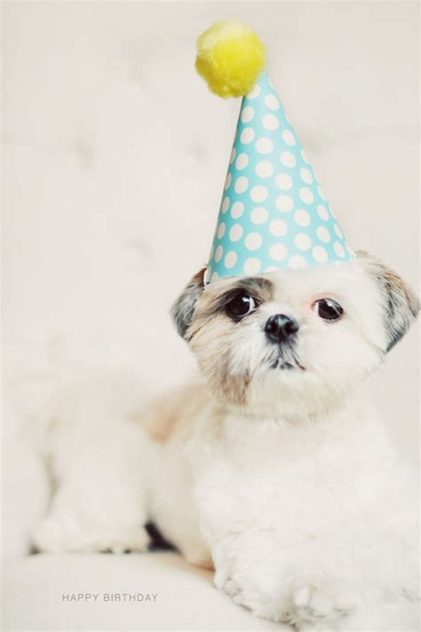 happy birthday shih tzu images 17 best images about cape may dogs birthdays on george clinton golden