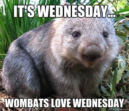 Wombat Memes - it s wednesday wombats love wednesday quotes