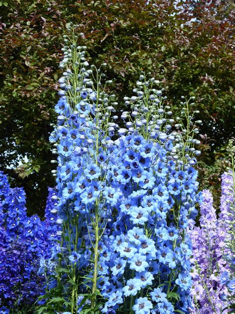 delphinium seeds summer skies decker  seeds