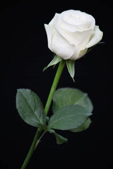divia mawar putih