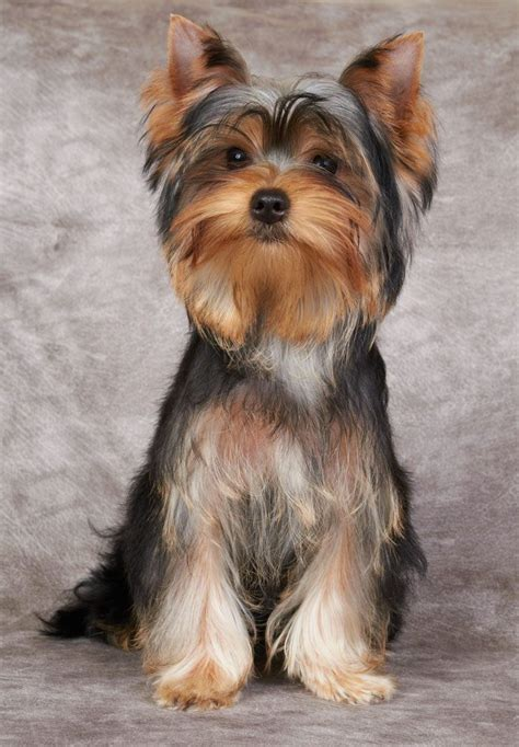unique yorkie names yorkie names terrier names yorkies and unique