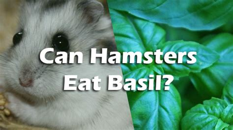 can dogs eat basil can hamsters basil pet consider
