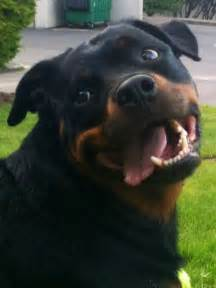 rottweiler pictures with 34 best images about rottweilers on touch me rottweiler pictures and