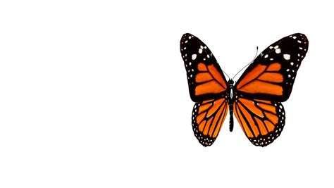 Butterfly Animation Stock Footage Video 159100 Shutterstock Images Of Animated Butterflies